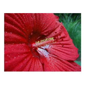 Hibisco rojo con las gotas de agua tarjeta postal