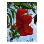 Hibisco rojo postal
