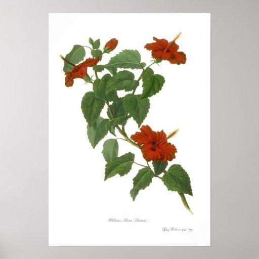 Hibisco Rosa-sinensis Póster