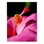 Hibisco Rosa-sinensis - primer de un hibisco Postal