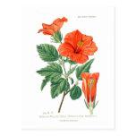 Hibisco Rosa-sinensis Tarjetas Postales
