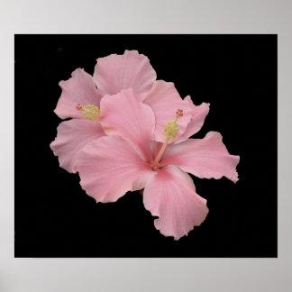 Hibisco - rosa suave del ángel póster