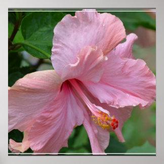 Hibisco rosado bonito posters