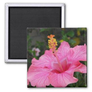 Hibisco rosado de Hawaii Imán Cuadrado