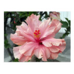 Hibisco rosado doble 1 postal