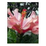 Hibisco rosado doble 2 tarjetas postales