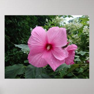 Hibisco rosado póster