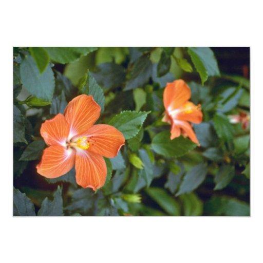 Hibisco Syriacus Coeur (rosa de Sharon) pi criollo Anuncio