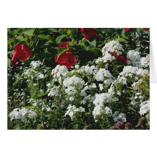Hibiscus And Phlox Flower Garden Photography Card