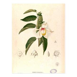 'Hibiscus campylosiphon', c. 1880 Postcard