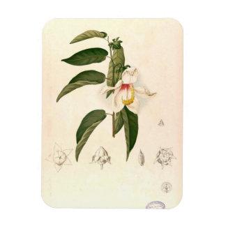 'Hibiscus campylosiphon', c. 1880 Rectangular Photo Magnet