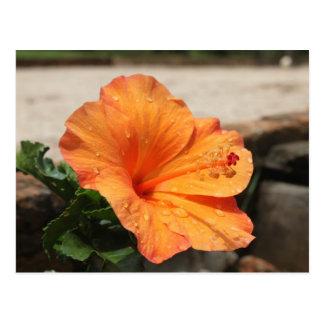Hibiscus - Diversos Postcard