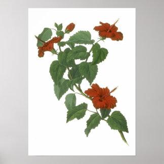 Hibiscus Flower Botanical Drawing Poster