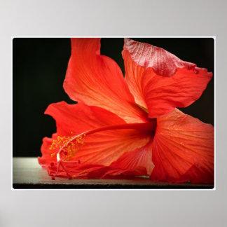 Hibiscus. Flower papo Poster