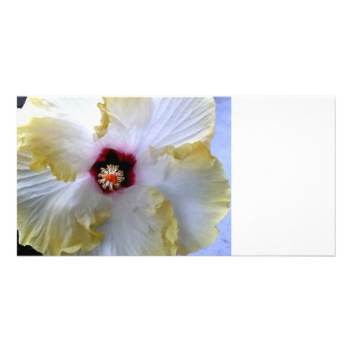 hibiscus flower white yellow center picture photo card