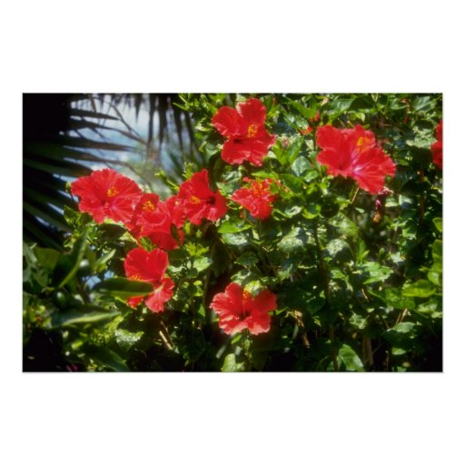 Hibiscus hedge, Spain flowers Poster
