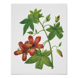 hibiscus(Lavatera phoenicea) by Redouté Print