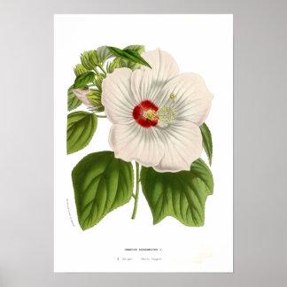 Hibiscus moscheutos poster