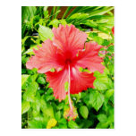 Hibiscus, Placencia, Belize Postcard