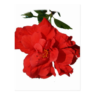 Hibiscus Red Flower Photograph Design Postcard