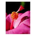 Hibiscus rosa-sinensis - closeup of a Hibiscus Postcard