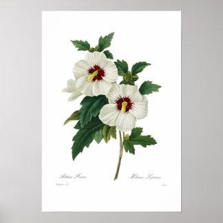 Hibiscus syriacus poster