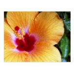 Hibiscus, Yellow-Orange Postcards