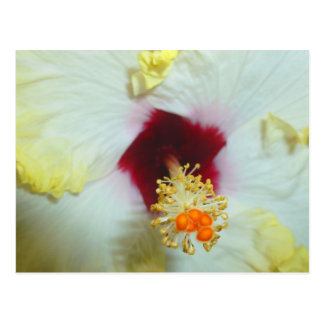 Hibiscus Yellow w Red center Postcard