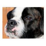 Híbrido Photo-10 de Jarno Boston Terrier