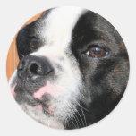 Híbrido Photo-10 de Jarno Boston Terrier Pegatinas