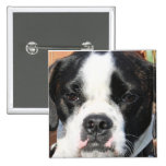Híbrido Photo-12 de Jarno Boston Terrier Pin