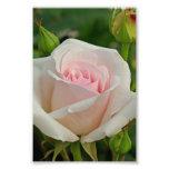 Híbrido rosado de Ofelia subió Impresión Fotográfica