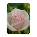Híbrido rosado de Ofelia subió Imán