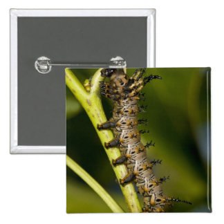 Hickory horned devil caterpillar (Citheronia Pins
