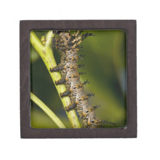 Hickory horned devil caterpillar (Citheronia Gift Box
