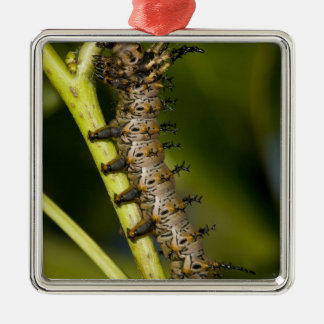 Hickory horned devil caterpillar (Citheronia Ornaments