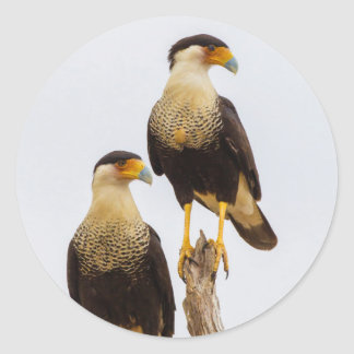 Hidalgo County. Adult Crested Caracara Classic Round Sticker