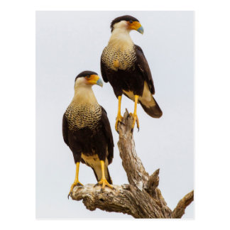 Hidalgo County. Adult Crested Caracara Postcard