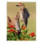 Hidalgo County, Texas. Golden-fronted Woodpecker 2 Postcard