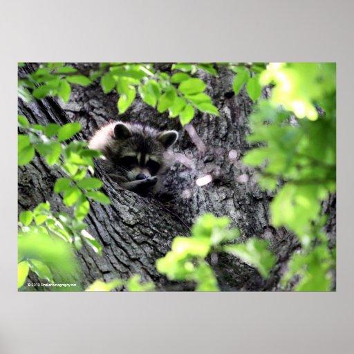 Hidding Raccoon Poster