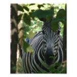 Hiding Zebra Photographic Print