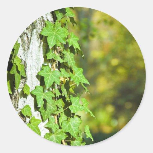 hiedra verde pegatina redonda