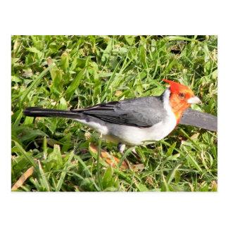 Hierba con el cardenal brasileño postal