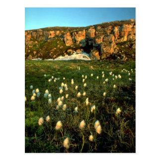 Hierba de algodón ártica en una isla ártica, NWT,  Postales
