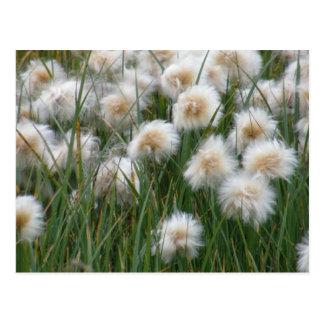 Hierba de algodón, isla de Unalaska Tarjetas Postales