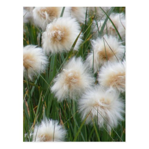 Hierba de algodón (russeolum del Eriophorum) Postales