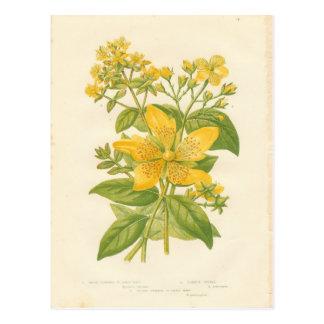 Hierba de San Juan florecida grande, impresión Postal