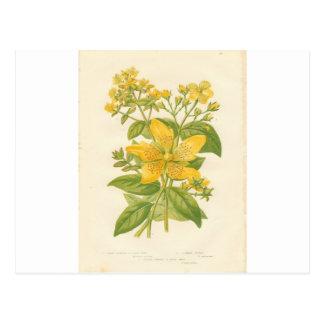 Hierba de San Juan, postal botánica del estampado