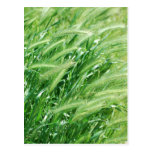 Hierba del trigo postales
