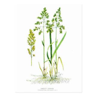 Hierba dulce botánica postal